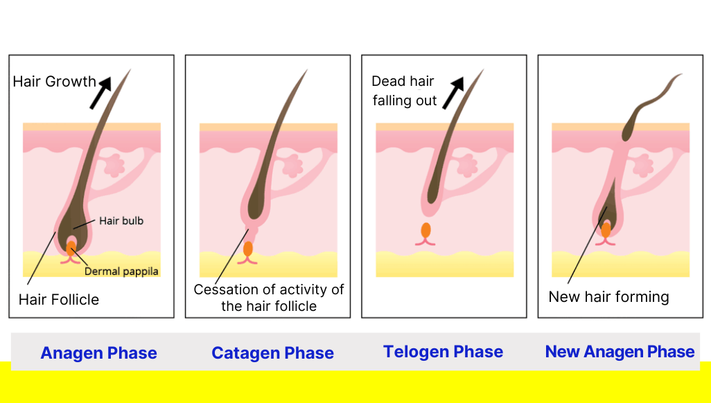 hair growth cycle anagen, catagen, telogen phase, new anagen phase