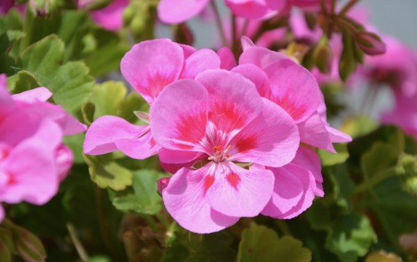aloe vera and almond oil for hair growth. Rose geranium ingredient for Aloe vera and almond oil for hair growth shampoo